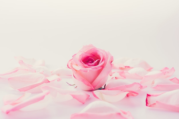 Pink and white rose with petal Free Photo