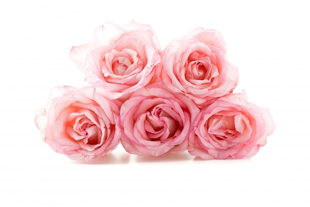Pink and white rose Free Photo