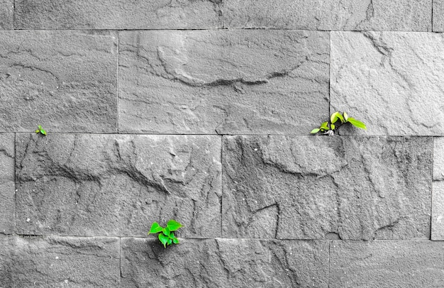 Pipal leaf growing through crack in old sand stone wall, survival concept Premium Photo