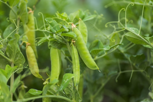 Pisum sativum, pea, garden peas in garden Premium Photo