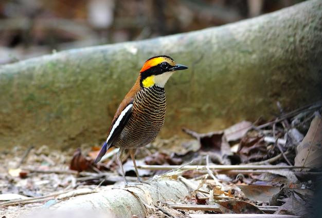 マレーの縞模様のピッタpitta irenaタイの美しい男性の鳥 Premium写真