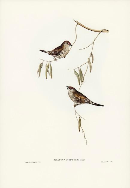 Plain-coloured finch (amadina modesta) illustrated by elizabeth gould Free Photo