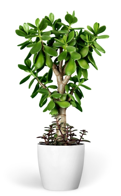 Plant crassula in a flower pot isolated on a white background Premium Photo