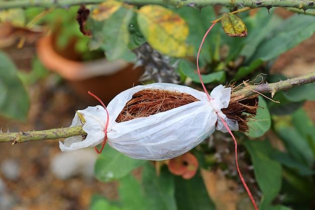 Plant grafting and budding rose Premium Photo