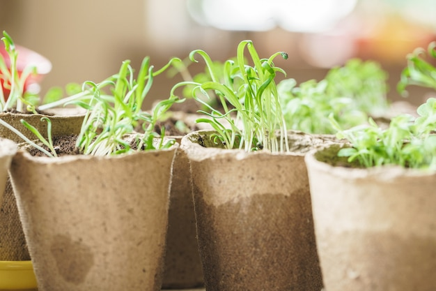 Plant in seedling peat pot on a wooden table Premium Photo
