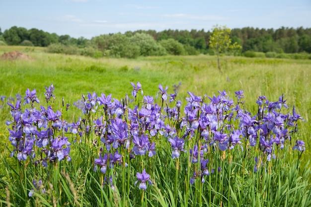 Plant of violet wild iris Free Photo