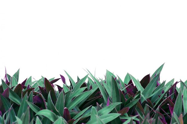 白い背景で隔離のツートンカラーの葉を持つ植物します。 Premium写真