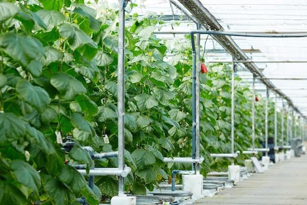 Plantation of cucumbers Free Photo