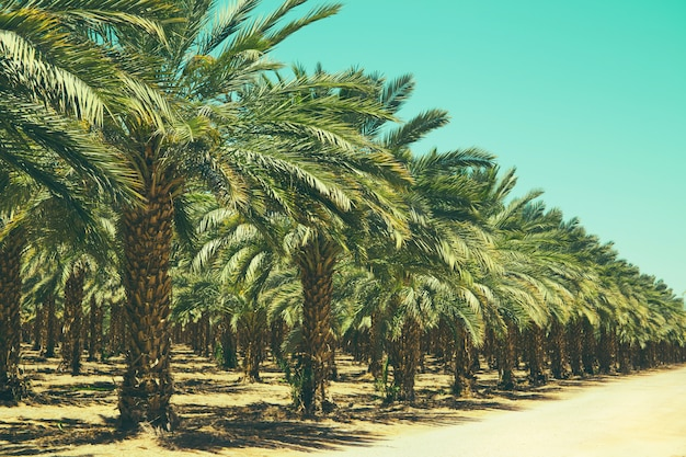 Plantation of date palm trees in israel. beautiful nature Premium Photo