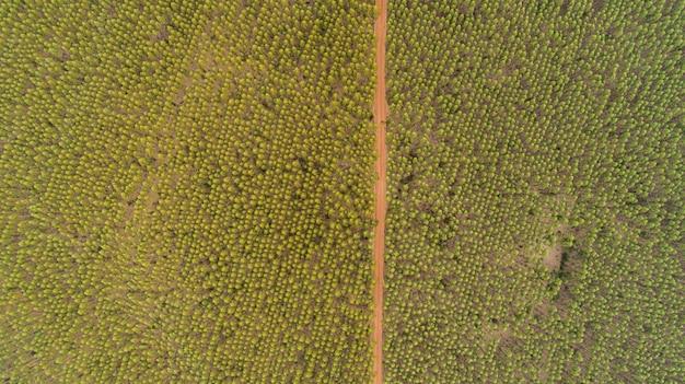 Plantation of eucalyptus trees, view from above. eucalyptus forest. Premium Photo