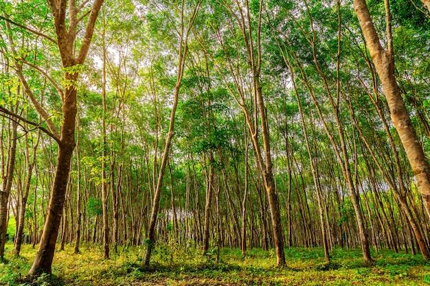 タイ南部のプランテーションツリーゴムまたはラテックスツリーゴム Premium写真