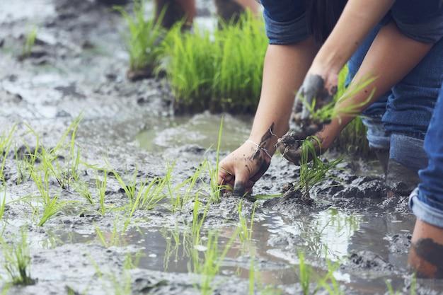 Planting on the organic rice farmland Free Photo