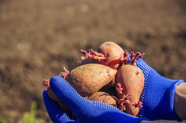 Planting potatoes. garden. selective focus. organic food. Premium Photo