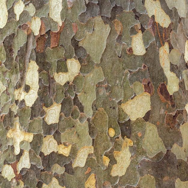 Platan bark wooden background. Premium Photo