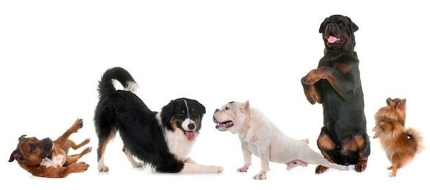 スタジオでplayind犬 Premium写真