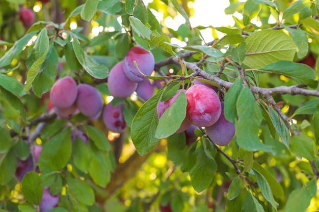 Plum branch with juicy fruits , sunlight, plum garden. Free Photo