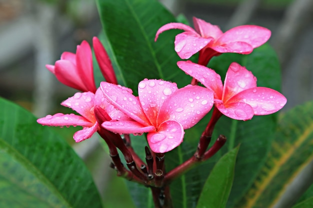 Plumeria flower with dew Premium Photo