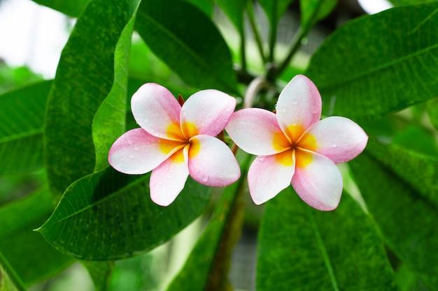 Плюмерия цветок с зелеными листьями Premium Фотографии