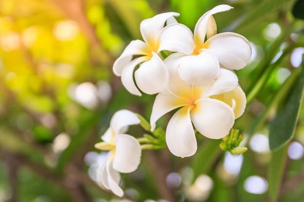 Plumeria flowers on bokeh white flower asian hawaii frangipani plumeria flowers on bokeh white flower asian hawaii frangipani flower leelawadee premium mightylinksfo