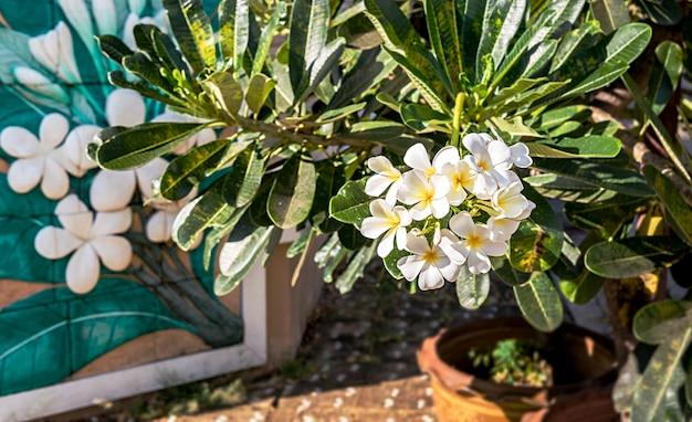 Plumeriaの花の色は、白、花の背景 Premium写真