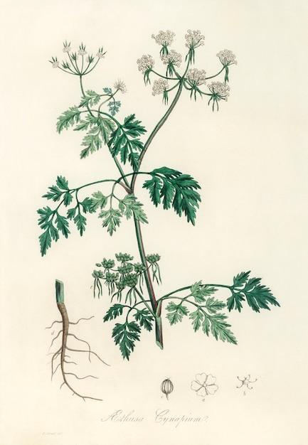 Poison parsley (aethusa cynapium) illustration from medical botany (1836) Free Photo