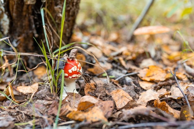 Ядовитый грибной мухомор Premium Фотографии