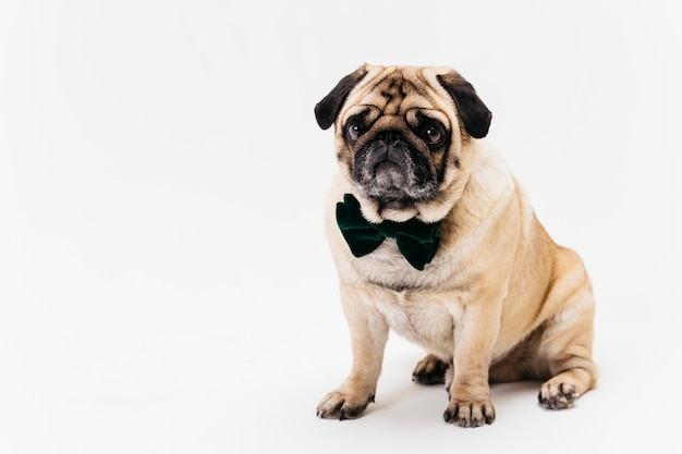 Poker face apricot fawn pug in bow tie Free Photo
