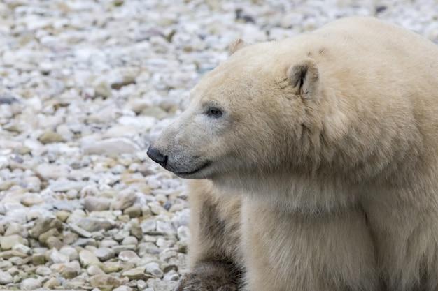 Orso polare nel suo habitat naturale Foto Gratuite