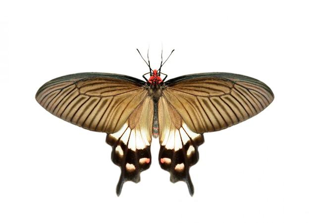 白い背景に分離された女性の偉大なモルモン教の蝶(アゲハpolytes)のイメージ Premium写真