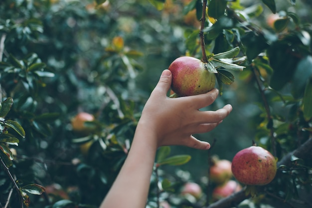 Pomegranate fruit in hand of a child, toned image Premium Photo