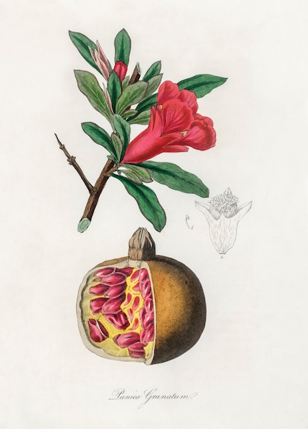 The pomegranate Free Photo