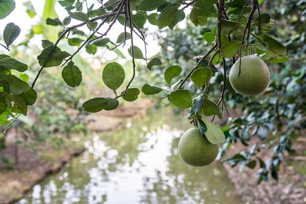 Pomelo orchard in thailand. Premium Photo