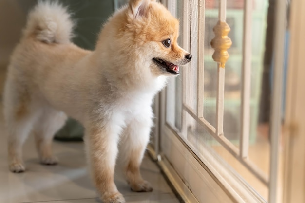 Premium Photo | Pomeranian dog is waiting for someone to open the door.  cute puppy dog sitting at the front door looking outside