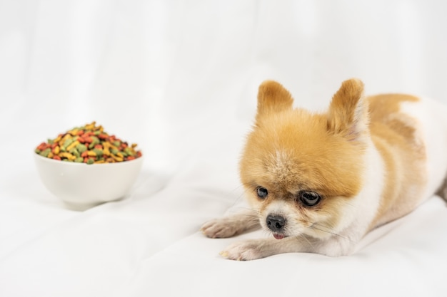 Pomeranian dog lying lonely on the table with food in morning day. Premium Photo