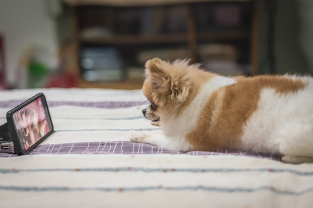 Pomeranian dog watching smartphone on the bed Premium Photo