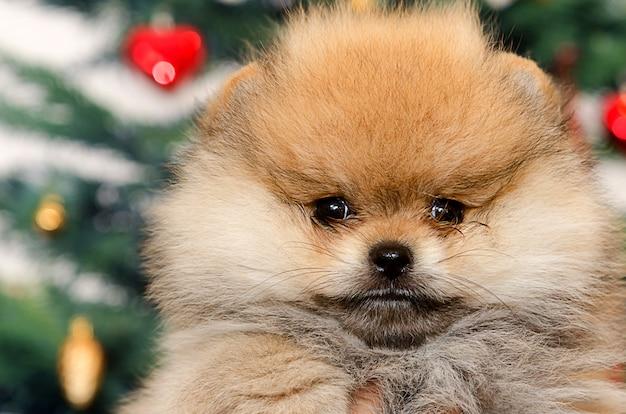 Pomeranian dog Premium Photo
