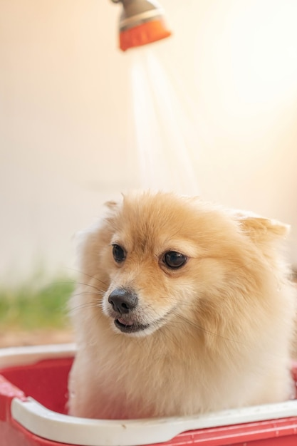 ポメラニアンまたは小型犬の品種は、飼い主によってシャワーを浴びて、赤いバケツに立っていました Premium写真