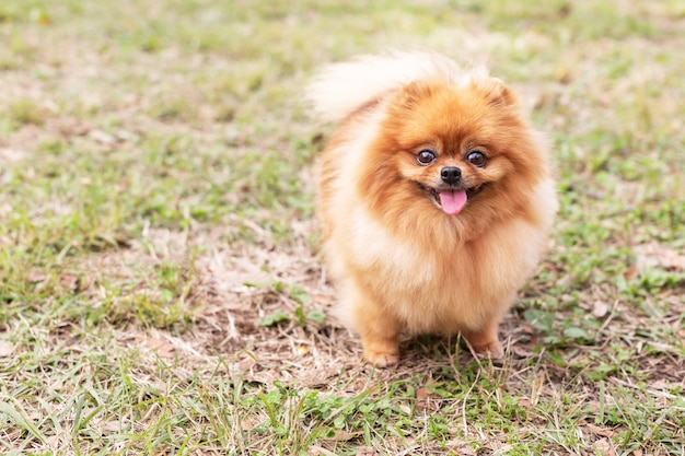 Pomeranian spitz dog Premium Photo