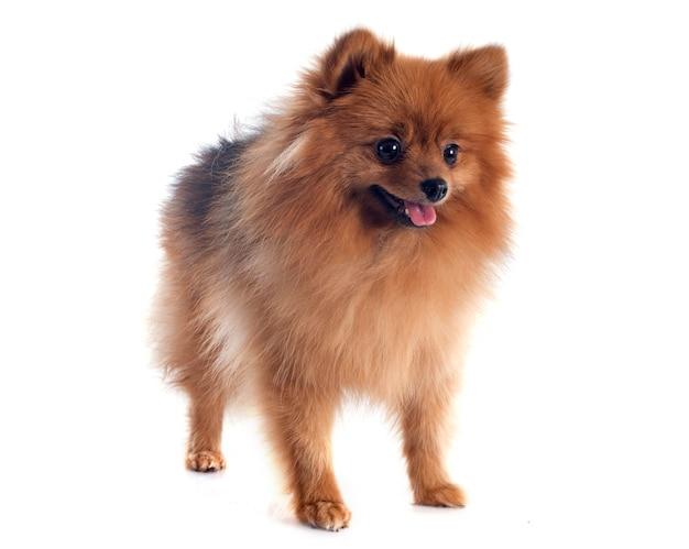Pomeranian spitz Premium Photo