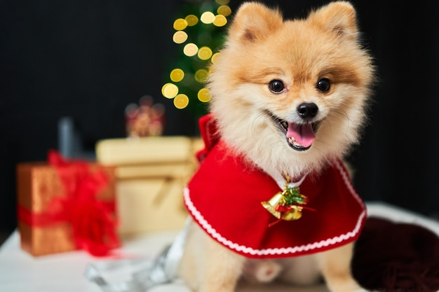 Pomeranian with a rim of a deer horn cap near the christmas tree and  box of gift. Premium Photo