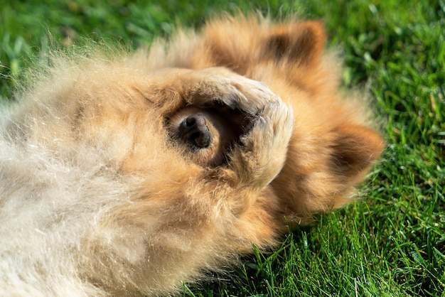 Pomerania con pelliccia gialla sdraiato sull'erba sulla schiena Foto Gratuite
