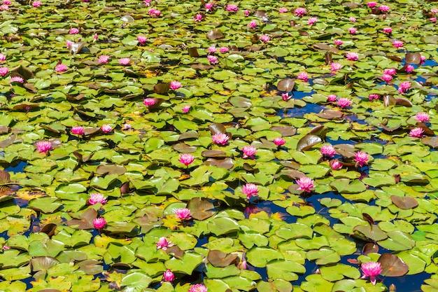 美しいピンクの神聖な蓮の花と緑の葉のある池-壁紙に最適 無料写真
