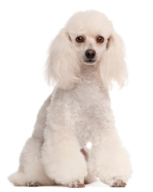 Poodle, 2 years old, sitting Premium Photo