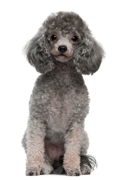 Poodle with 4 years old. dog portrait isolated Premium Photo