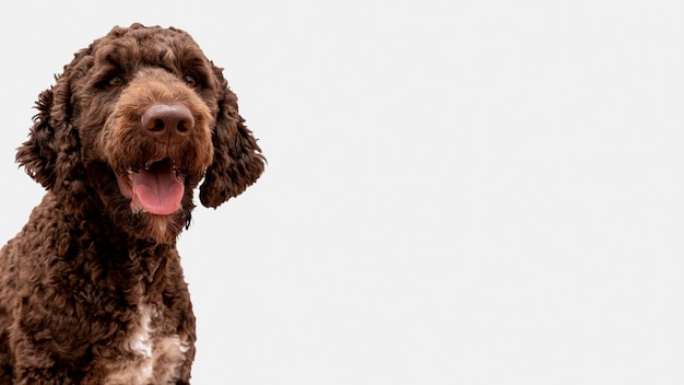 Poodle with tongue out with copy-space Premium Photo