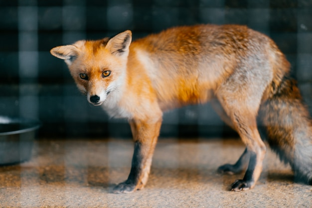 Poor young red european fox baby in captivity in zoo. Premium Photo