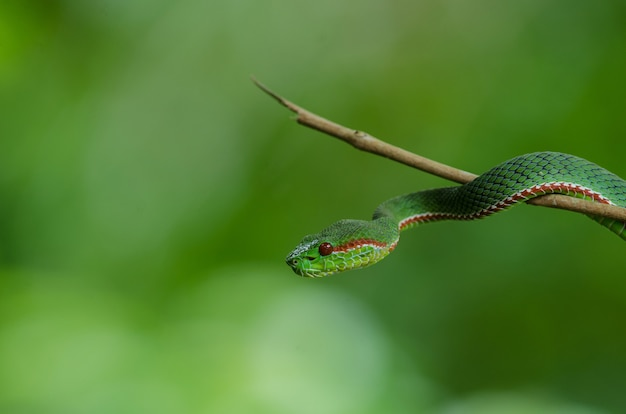 Pope's green pitviper snake Premium Photo