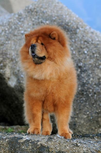 Portait of chow chow dog Premium Photo