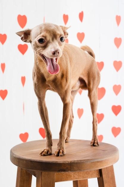 Ritratto di adorabile cane chihuahua sorridente Foto Gratuite