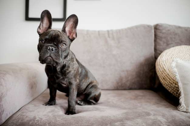 Portrait of adorable french bulldog Free Photo